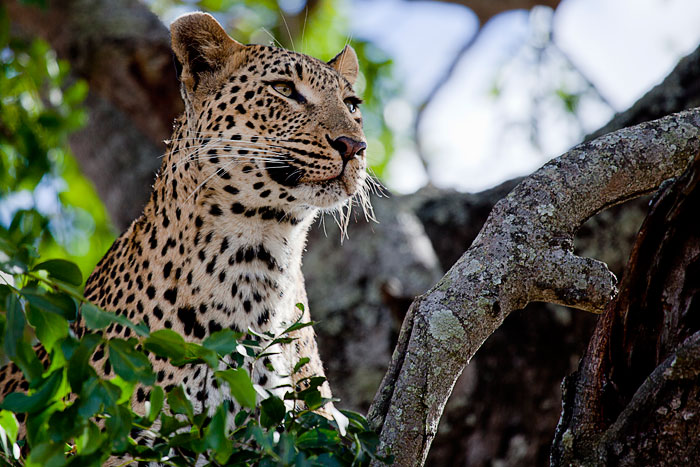 Tutlwa Female looking for Cub by Rich Laburn