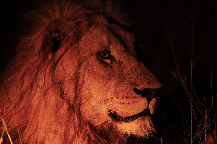 A Male Lion Stares into the Night by Rich Laburn
