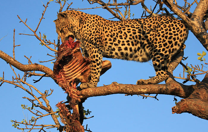 Maxabeni 2:2 Female Eating Impala Carcass by Byron Serrao