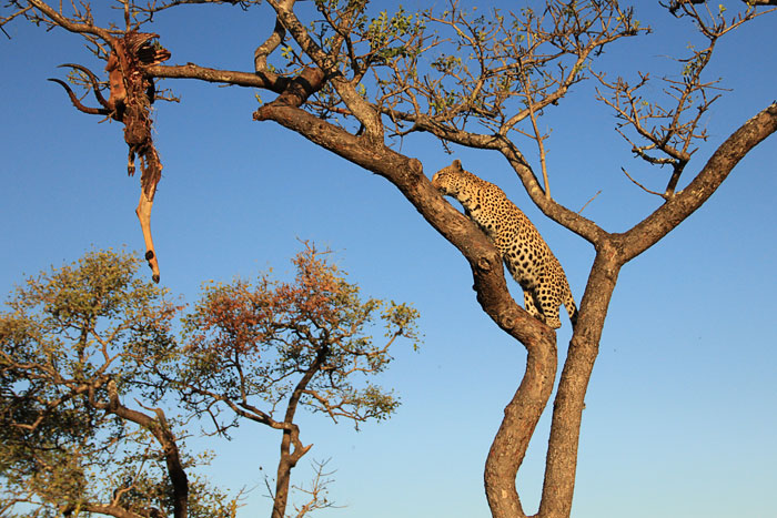 Maxabeni 2:2 Female Climbing to Hoisted Impala Kill