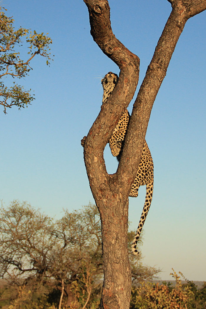 Maxabeni 2:2 Female Running up Marula Tree