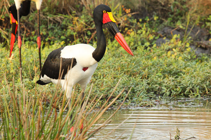 Saddle Billed Stork by Byron Serrao