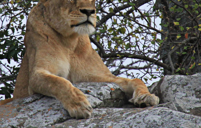 Tsalala Lioness lyning on rock at densite by Rich Laburn