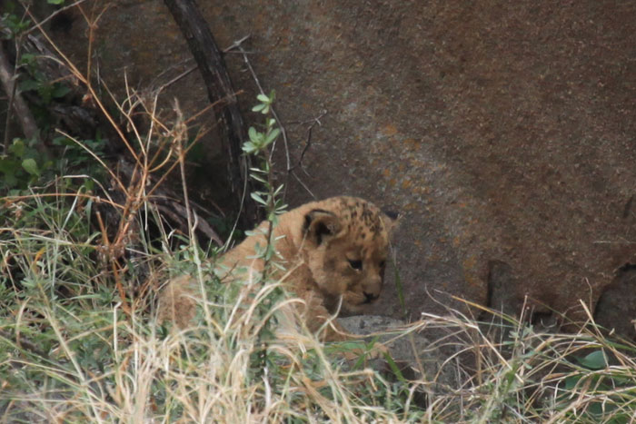 One of the New Tsalala Pride Cubs by Rich Laburn