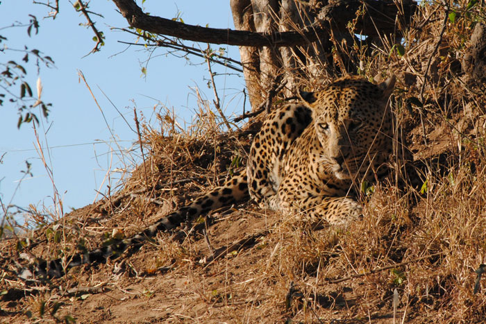 Leopard Viewing at Londolozi