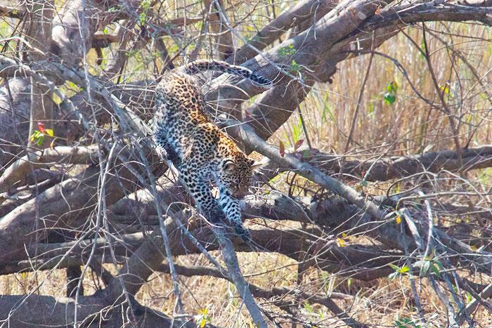 Ravenscourt-cub-on-tree-2