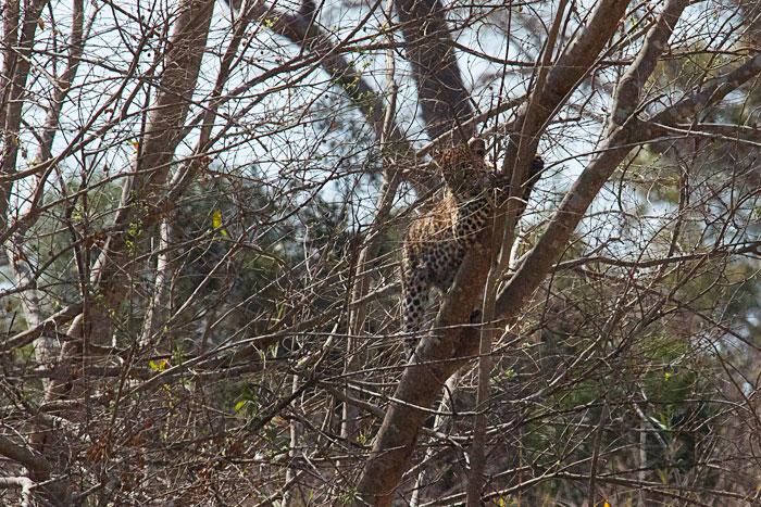 Ravenscourt-cub-in-tree-upright