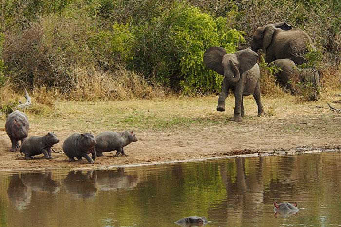 Elephant-chasing-baby-hippos