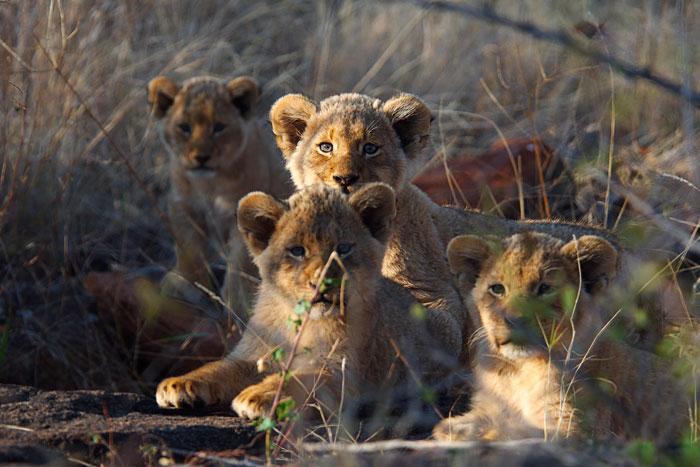 All-4-Tsalala-cubs