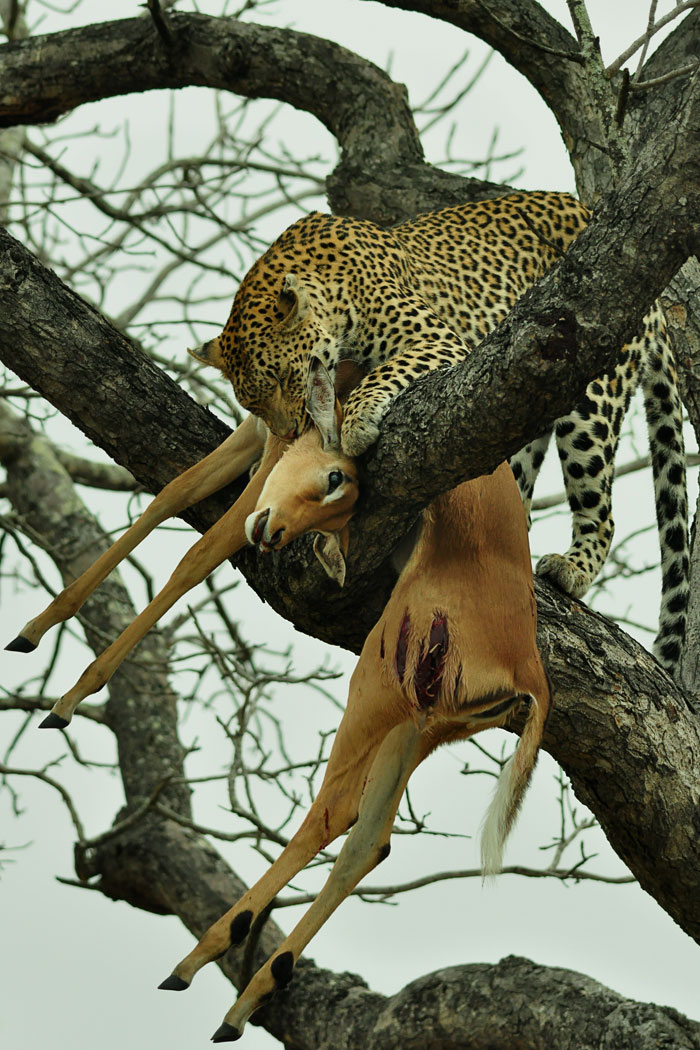campbell-koppies-female-hoisting-kill