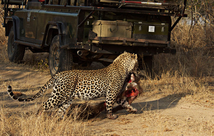 Marthly Male with baboon kill - Talley Smith