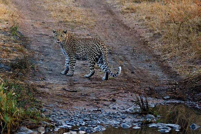 New Female Leopard at Londolozi David Dampier