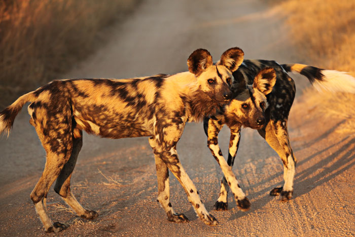 Wild Dogs play in the last remains of golden sunlight