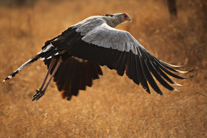 A Secretary Bird takes flight