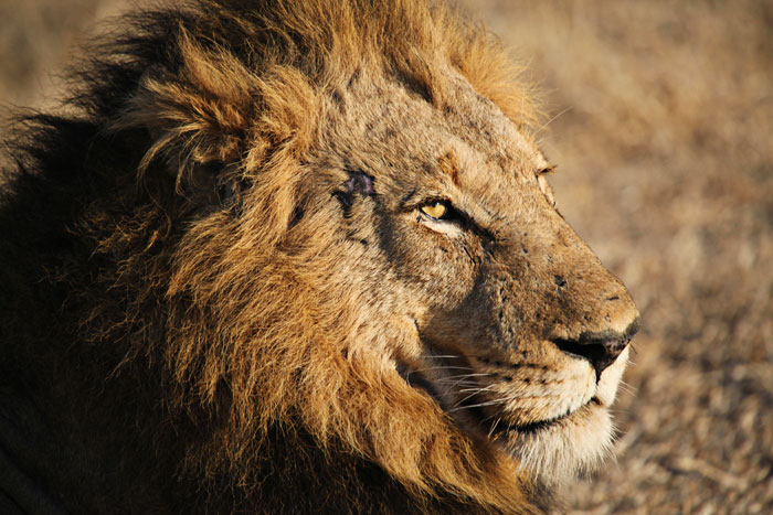Portrait of a Majingilane Male Lion Coalition Member