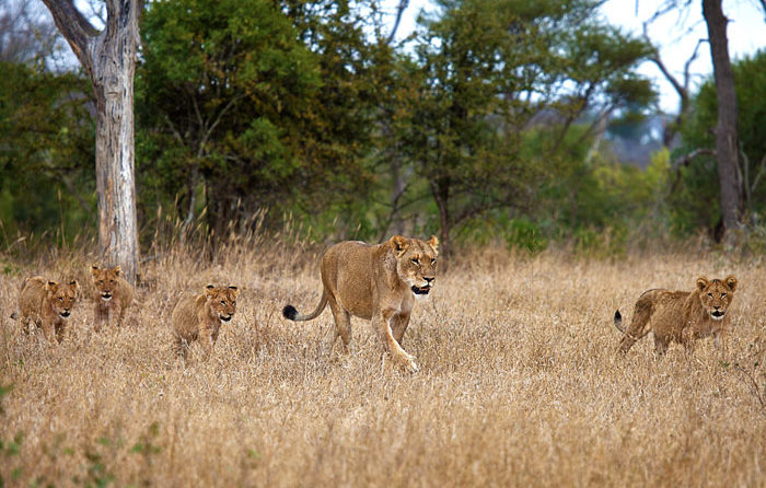 Tsalala Lioness with four cubs approaching the Sand River after eating an impala - Rich Laburn