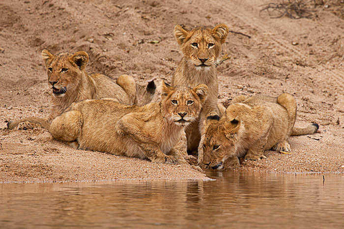 Tsalala cubs drinking just before the river crossing - Rich Laburn