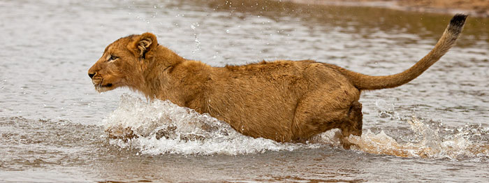 Tsalala Pride Cub Swimming through Sand River - Rich Laburn