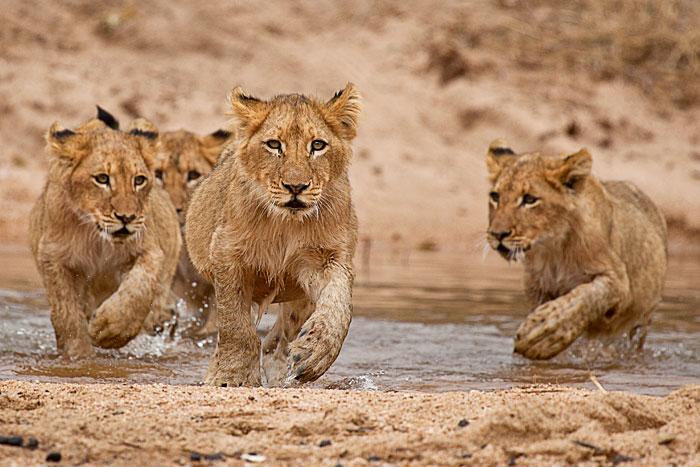Tsalala Cubs crossing Sand River - Rich Laburn