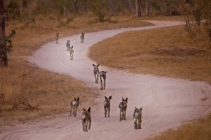 The pack of wild dogs runs down the road away from the upset breeding herd. Later that afternoon, they would find and unsuccessfully hunt an impala ewe - Rich Laburn