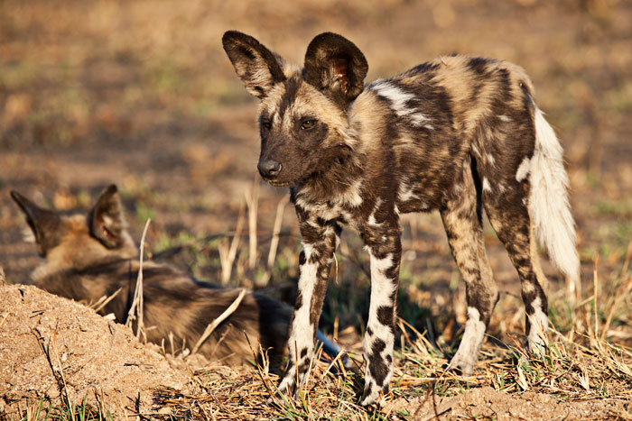 A wild dog pup just after waking up in the late afternoon - Rich Laburn
