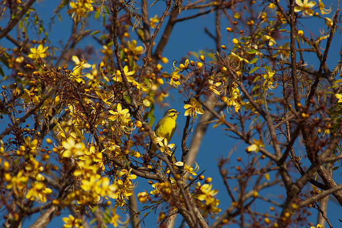 A Yellow-fronted canary and aLong-tailed Cassia tree in bloom