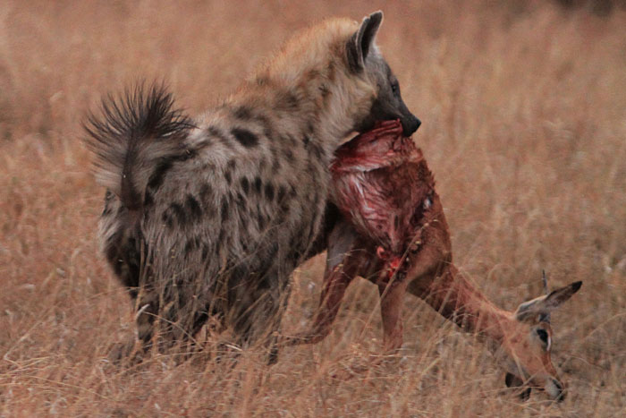 Spotted Hyenas : Love ...