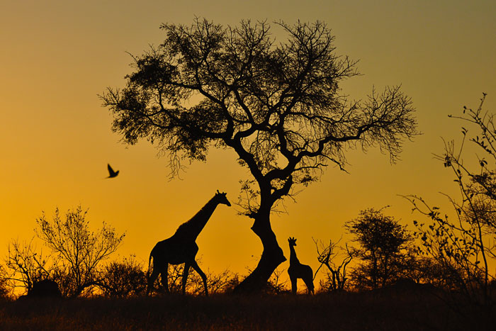 Giraffe at Sunset by Francesca Grima