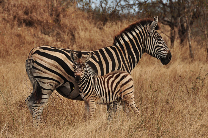 Zebra and Foal by Francesca Grima