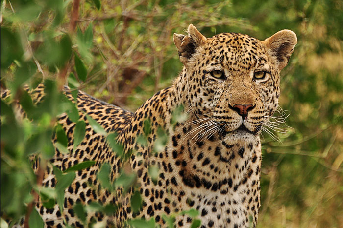The Marthly Male Leopard by Francesca Grima