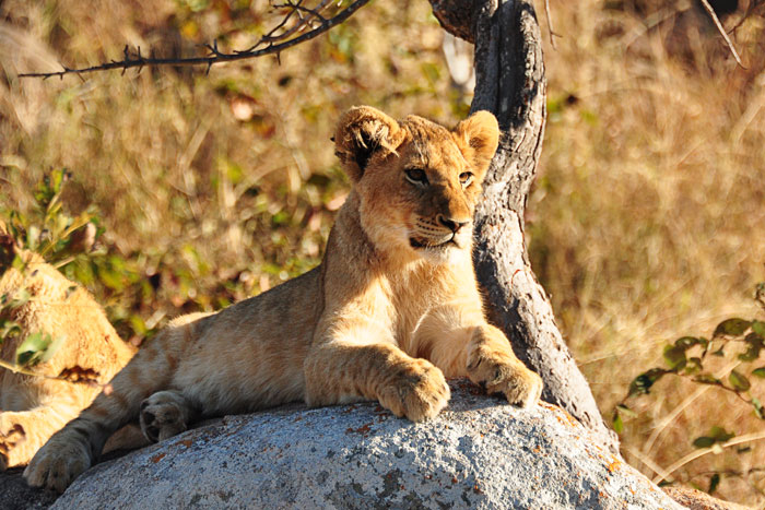 Tsalala Pride Older Cub by Francesca Grima