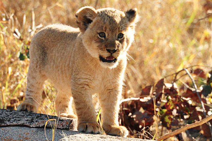 Tsalala Pride Young Cub by Francesca Grima