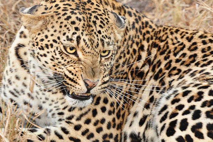 Snarling Leopard by Francesca Grima