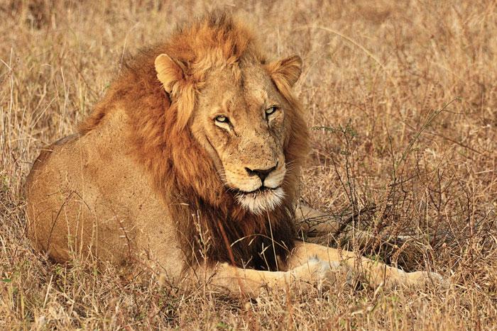 Majingilane Male Lion by Francesca Grima
