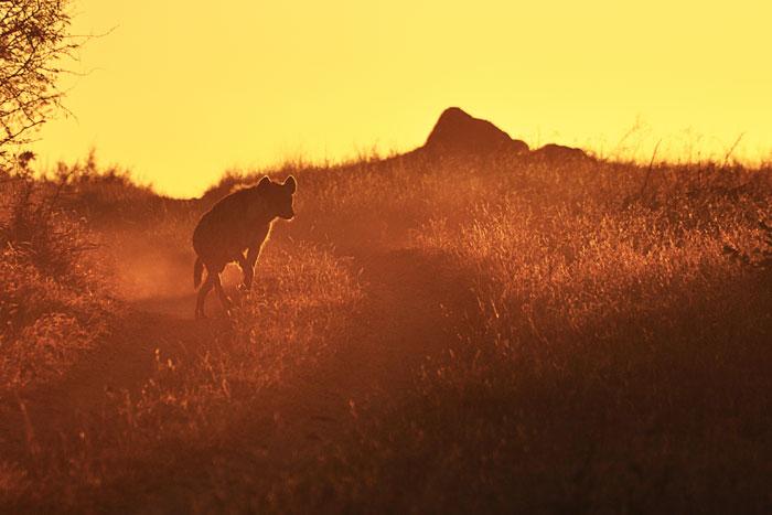 Hyena at Dusk by Francesca Grima
