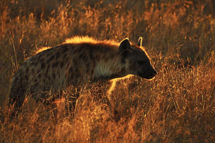 A backlit hyena at sunset by Francesca Grima