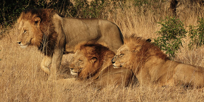 Majingilane Male Lions at Londolozi Game Reserve