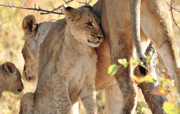 Tsalala Pride Cubs by Francesca Grima