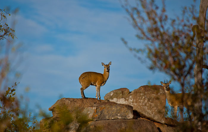 A Klipspringer stands in the early morning sun against a Winter's sky by Rich Laburn