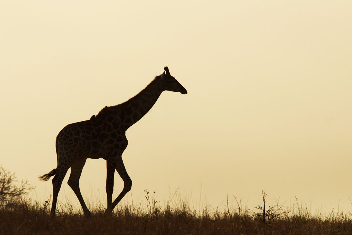 A giraffe meanders across Warrens Crest at sunset.