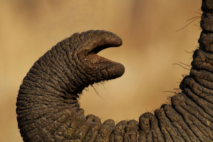 An Elephant Gives Us A Close Up Of His Trunk, Which With Its Many