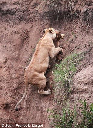 Rescued cub