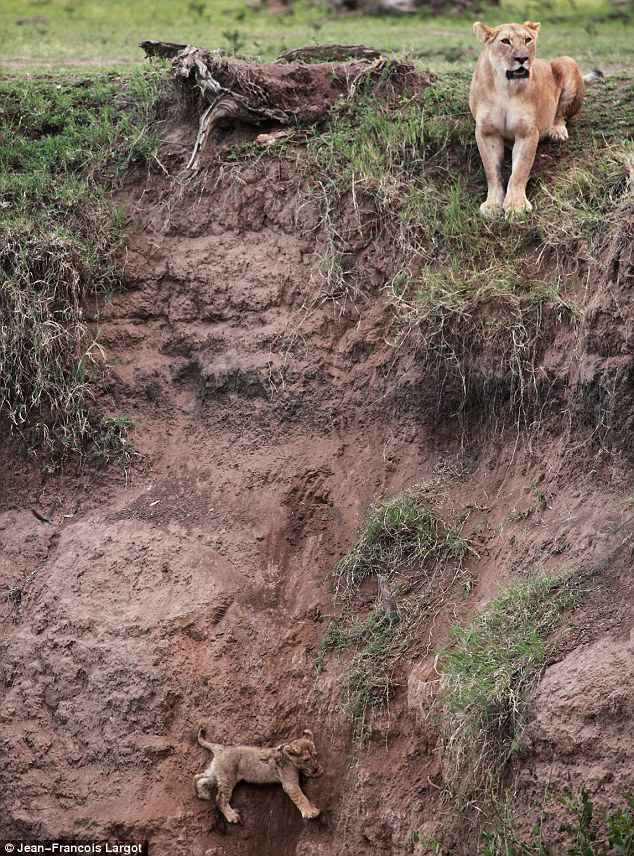 Lioness and Cub down ravine
