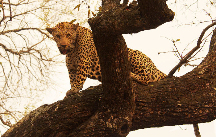 The Camp Pan Male after stealing a kill from the Maxabene 3:2 Young Male by Talley Smith