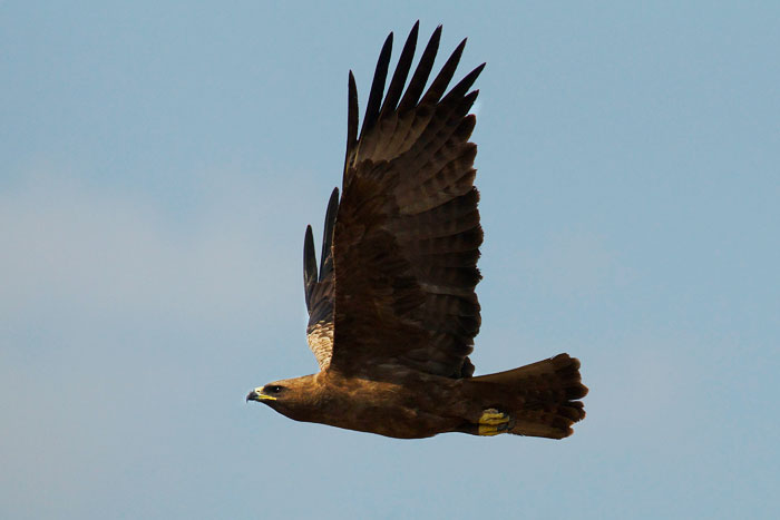 A Wahlberg's eagle. The birds are just beginning to arrive back from their migration, and are already getting their nests in order.