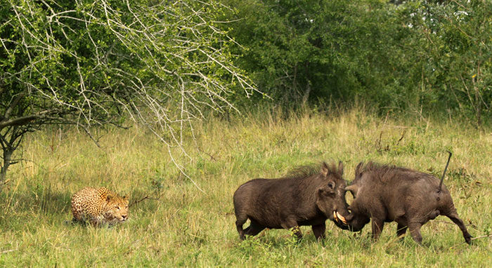 Mike Miller Leopard-Warthog-Winning-Shot