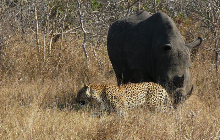 Leopard-and-Rhino-Close-Drian-Datnow