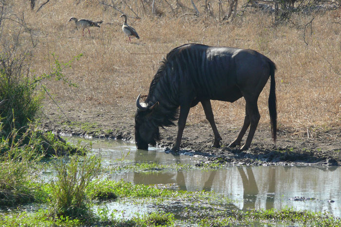 Wildebeest-Brian-Datnow