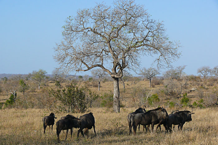Wildebeest-and-tree
