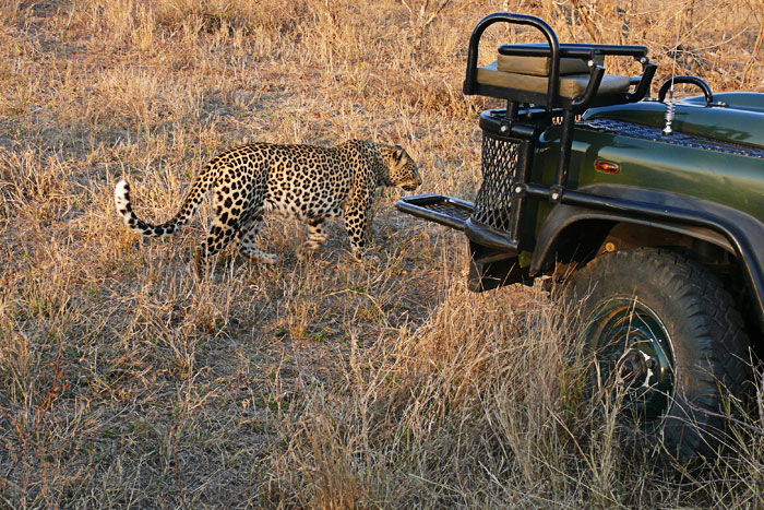 Leopard-and-Vehicle